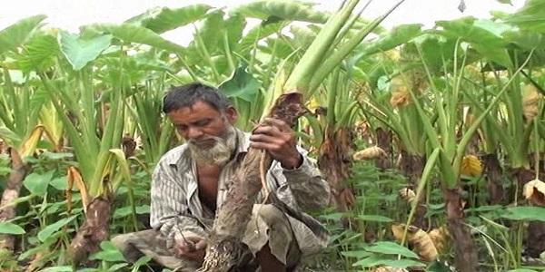 Kishoreganj Arum Photo (6)