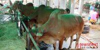 'জনস্বাস্থ্য বিবেচনায় ঘনবসতিপূর্ণ এলাকায় কোরবানি পশুর হাট বসাবে না'