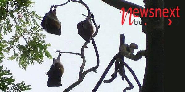 কুমিল্লা'র শোভা বাড়াচ্ছে বাদুড়